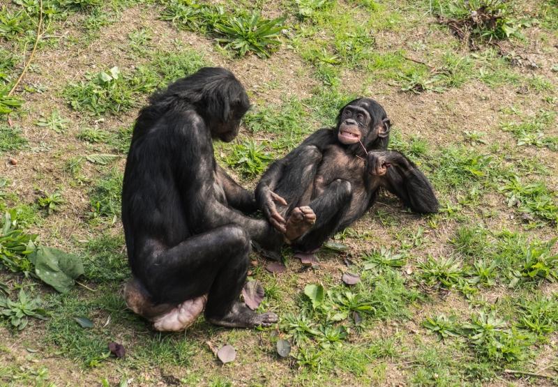 apenheul chimpansees