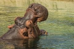 emmen wildlands nijlpaard