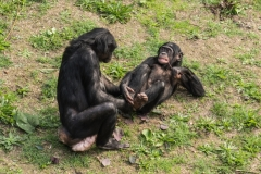 apenheul chimpansees
