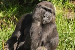 apenheul gorilla